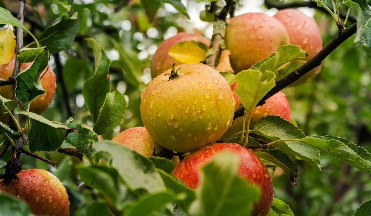 dojrzałe jabłka na drzewie